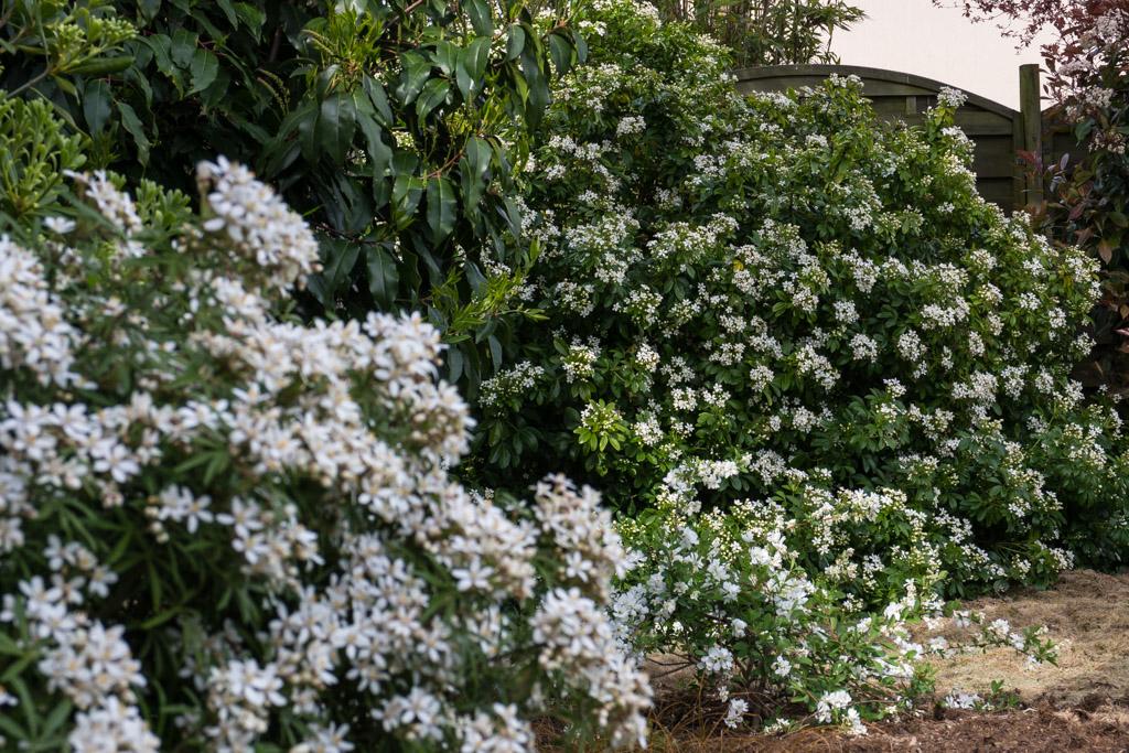 C'est la saison du blanc ! De gauche à droite : Choisya 'White Dazzler', 'Voile de mariée' et Choisya ternata