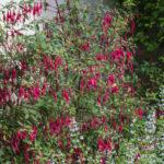 <em>Fuchsia magellanica</em> 'Riccartonii' 08/08/2021