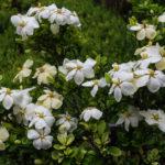 <em>Gardenia jasminoides</em> 'Kleim's Hardy' 01/07/2020