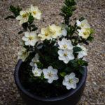 <em>Gardenia jasminoides</em> 'Kleim's Hardy' 05/06/2018