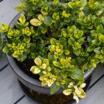 <em>Gardenia jasminoides</em> 'Kleim's Hardy' 28/04/2019