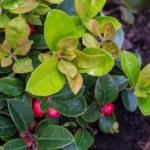 <em>Gaultheria procumbens</em> 22/05/2015