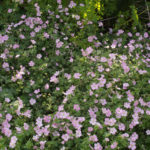 <em>Geranium Dreamland</em> 'Breamdream' 20/08/2019