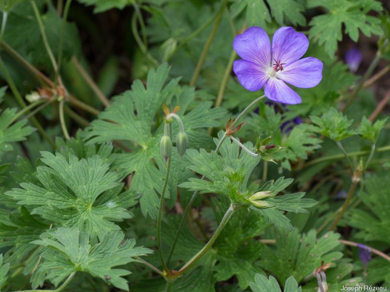 Début floraison (tardive)