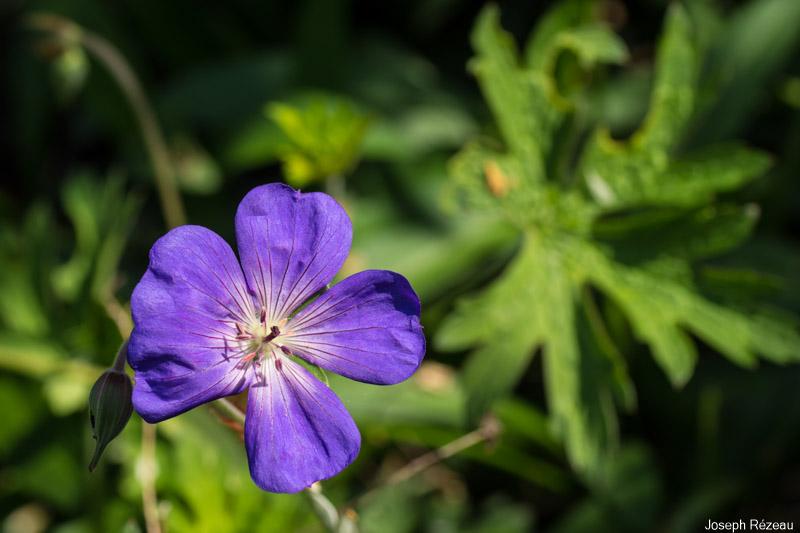 première fleur 26 avril 2020
