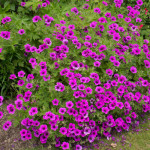 <em>Geranium psilostemon</em> 'Bressingham Flair' 11/06/2015