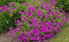 Floraison abondante de juin