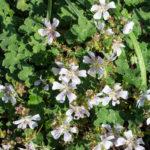 <em>Geranium renardii</em> 11/04/2019