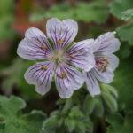 <em>Geranium renardii</em> 28/05/2017