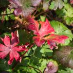 <em>Geranium x cantabrigiense</em> 'Cambridge' 18/10/2020