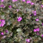 <em>Geranium x oxonianum</em> 'Orkney Cherry' 21/05/2016