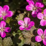 <em>Geranium x oxonianum</em> 'Orkney Cherry' 26/04/2020