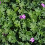 <em>Geranium x riversleaianum</em> 'Mavis Simpson' 16/05/2015