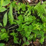 <em>Gymnocarpium dryopteris</em> 20/08/2020