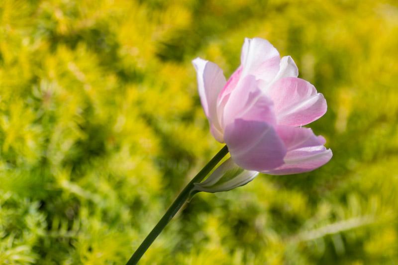 """La """"vraie"""" tulipe Angélique sur fond de sédum. Fin Avril."""