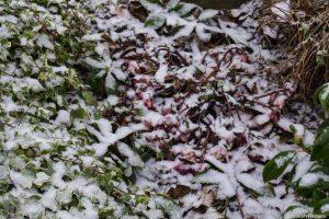 Hellébore 'pink frost' bien nommée aujourd'hui !