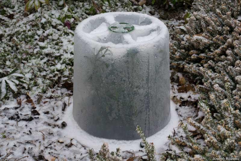Philotheca protégé par sa cloche en plastique. Passera-t-il l'hiver ?