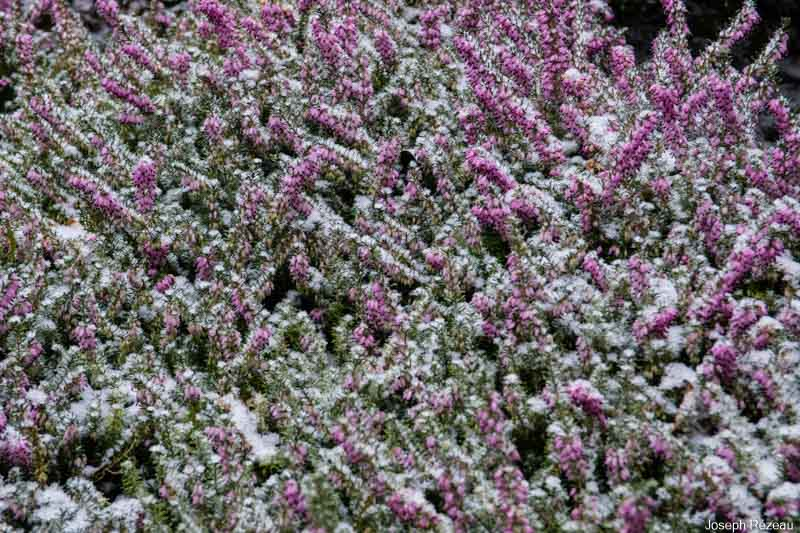 winter heath under the snow