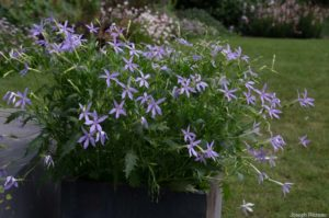 Nouvelle plante pour meubler le haut de l'escalier : Isotoma (Solenopsis), axillaris ou Laurentia axiliaris