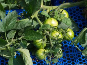Petite caissette de plastique pour empêcher les tomates de traîner à terre