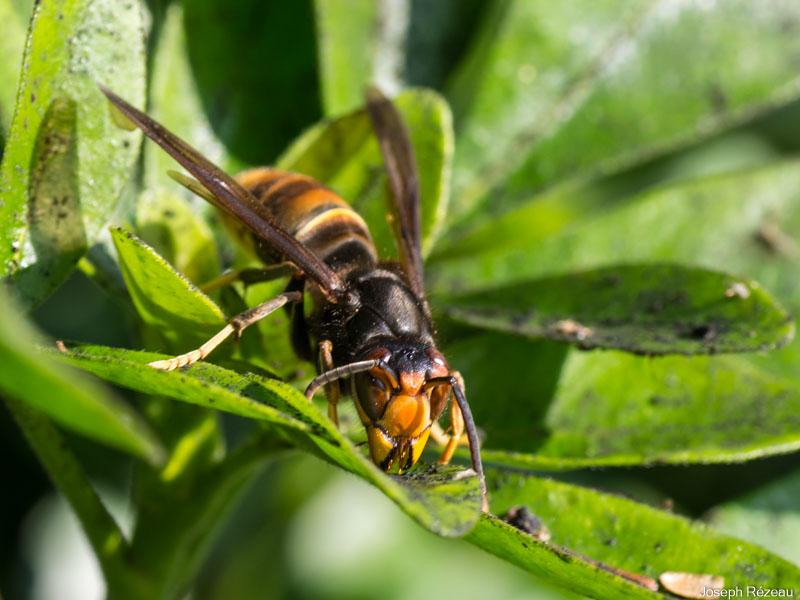 Asian hornet visiting the garden