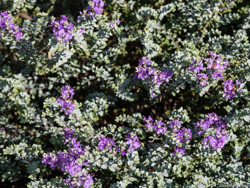 Hebe pimeleoides 'Quicksilver' – Papi Joe's Garden