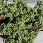 <em>Hebe pinguifolia</em> 'Sutherlandii' 11/06/2021