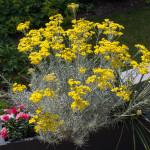 <em>Helichrysum italicum subsp. serotinum</em> 24/06/2015