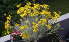 Helichrysum italicum subsp. serotinum 24/06/2015