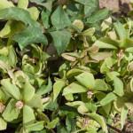 <em>Helleborus niger</em> 28/04/2010
