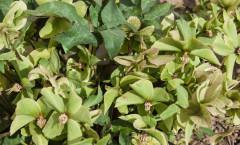 Helleborus niger 28/04/2010