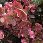 <em>Helleborus x ericsmithii</em> 'HGC Pink Frost' 05/04/2016