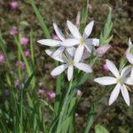 <em>Hesperantha coccinea</em> 15/08/2020