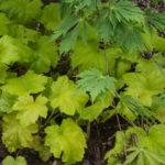 <em>Heuchère</em> 'Electric Lime' 16/05/2016