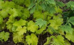 Sous la pergola et au pied de l'Acer aconitifolium, le feuillage de l'heuchère est bien protégé du soleil.