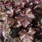 <em>Heuchera</em> 'Black Beauty' 24/03/2017