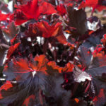 <em>Heuchera</em> 'Black Beauty' 28/03/2017