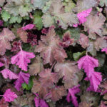 <em>Heuchera</em> 'Chocolate Ruffles' 01/05/2015