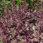 <em>Heuchera</em> 'Chocolate Ruffles' 22/05/2015