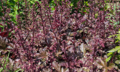 Heuchera 'Chocolate Ruffles' 22/05/2015