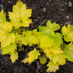 <em>Heuchera</em> 'Electric lime' 28/04/2015