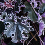 <em>Heuchera</em> 'Purple Petticoats' 04/01/2019
