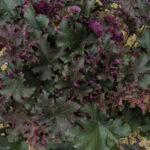 <em>Heuchera</em> 'Purple Petticoats' 18/09/2016