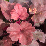 <em>Heuchera x</em> 'Cherry Cola' 31/08/2018