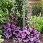 <em>Heuchera x</em> 'Plum Royale' 08/05/2018