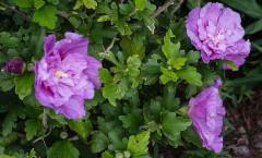 Hibiscus syriacus Lavender Chiffon 29/08/2014