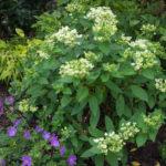 <em>Hydrangea paniculata</em> 'pastel green' 03/07/2018