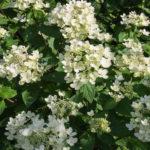 <em>Hydrangea paniculata</em> 'pastel green' 11/07/2018