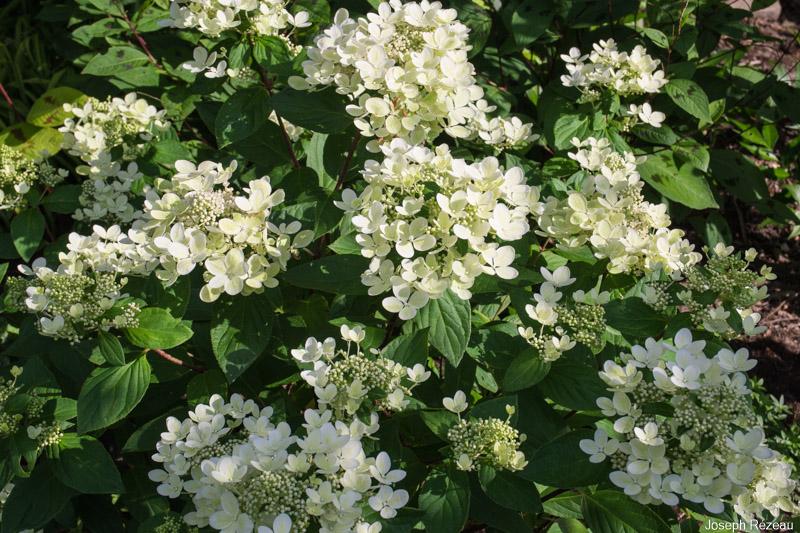 Hydrangea Paniculata Pastelgreen 174 Renxolor Papi Joe S Garden