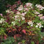 <em>Hydrangea paniculata</em> 'pastel green' 17/09/2017